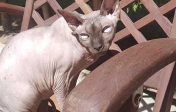 un gato de raza sphynx sentado en una silla de madera