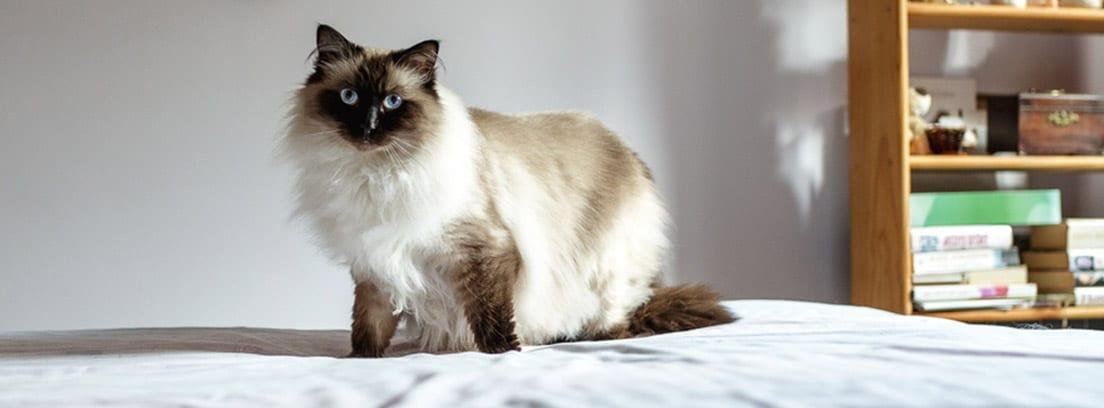 Gato himalayo subido sobre una cama, con una estantería de fondo