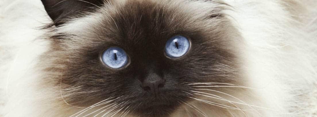 Primer plano de un gato himalayo mirando fijamente con los ojos de color azul