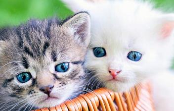 Dos cachorros de gato metidos en una cesta de mimbre