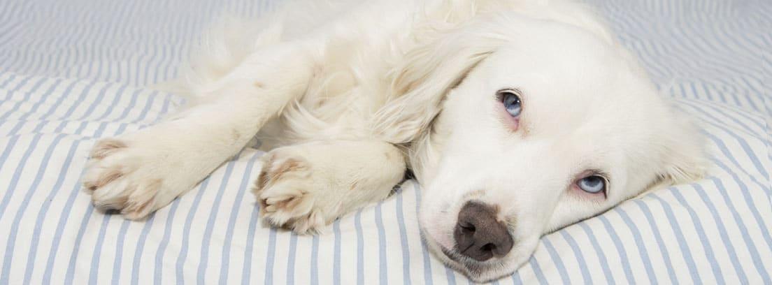 Perra tumbada en su cama con tela de rayas azules, con cara decaída