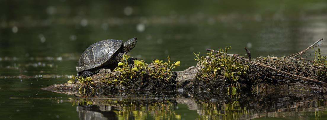 Tortuga subida en una isleta sobre un fondo acuático.