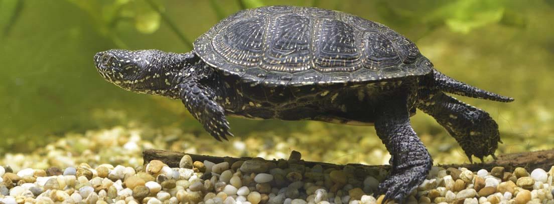 Tortuga nadando sobre un fondo de piedrecitas.