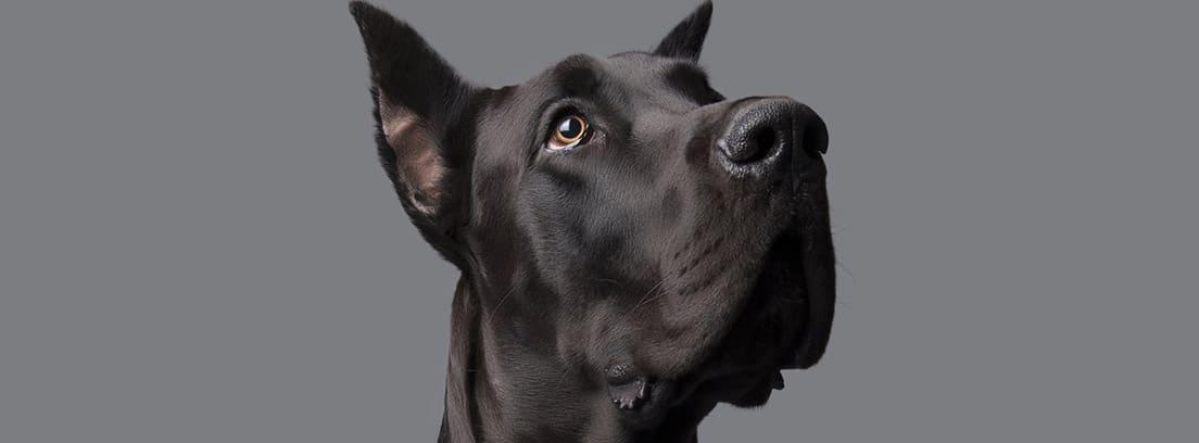 Perro de raza Gran Danés de color negro azabache.