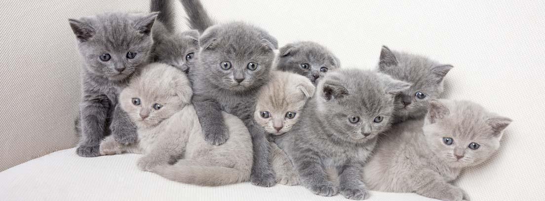 9 cachorros de gato de raza British shorthair de color gris.