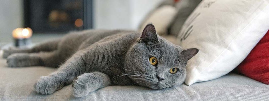 El gato British shorthair