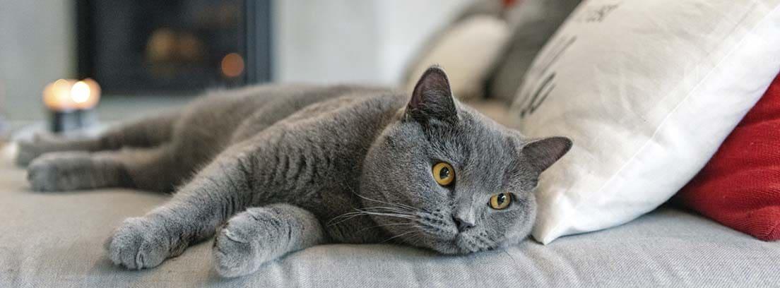 Gato de raza British shorthair de color gris, tumbado en una cama.