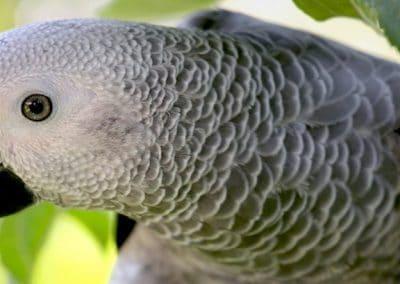Loro Yaco de color gris sobre una rama de un árbol.