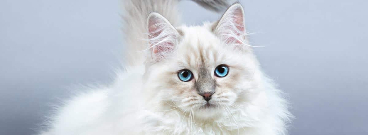 Gato de raza Neva Masquerade blanco con los ojos azules.