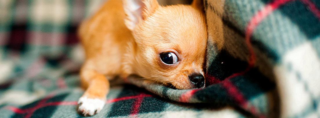 Un cachorro de chihuahua tumbado sobre una manta