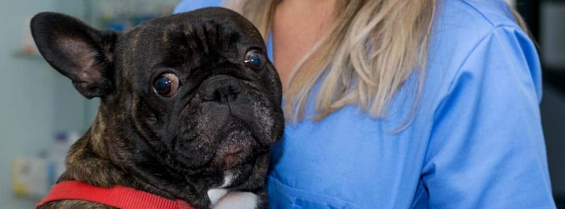 Bulldog francés de color negro con las orejas para atrás con cara de susto