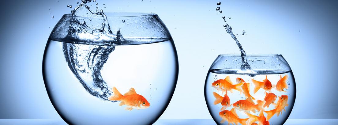 Dos peceras en las que aparecen varios peces Goldfish