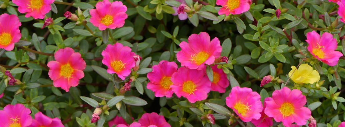 Flores fucsias de portulaca