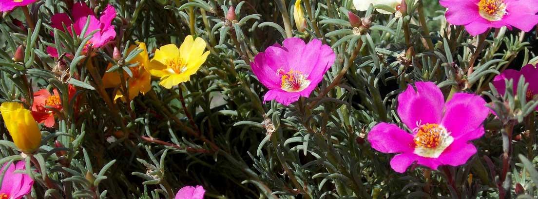 Diferentes portulacas de colores rosas y amarillas.