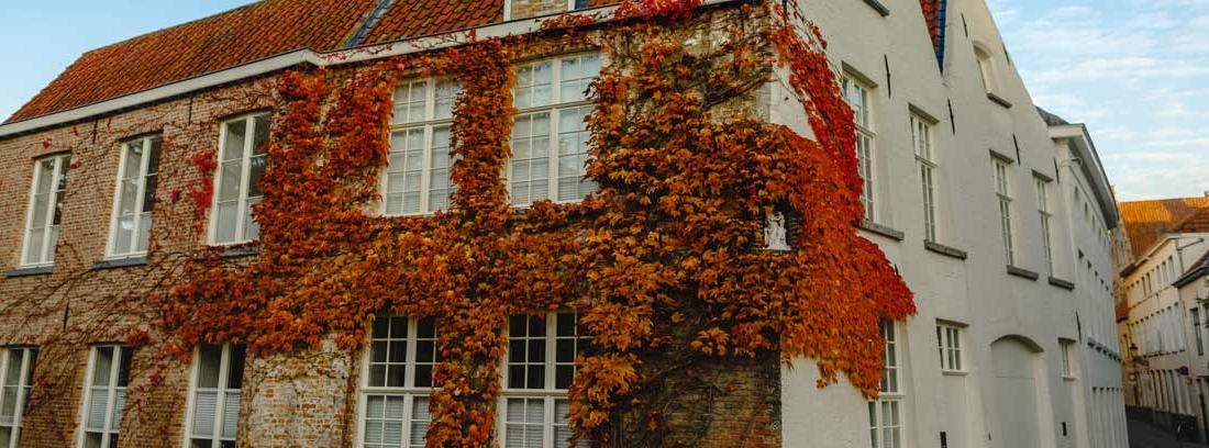Hiedra trepadora en tonos marrones sobre la fachada de una casa
