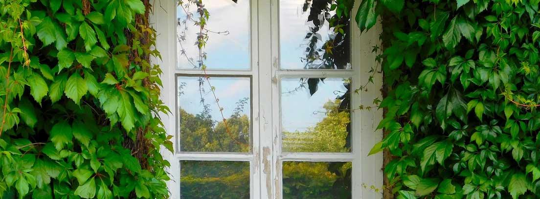 Hiedra trepadora cubriendo una ventana de madera blanca