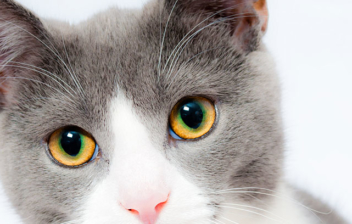 Primer plano de gato con ojos marones y orejas puntiagudas.