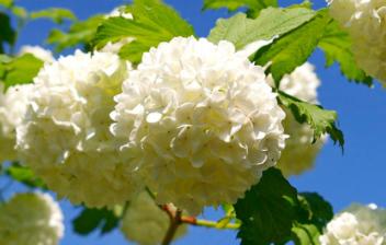 Flores blancas del Viburnum opulus