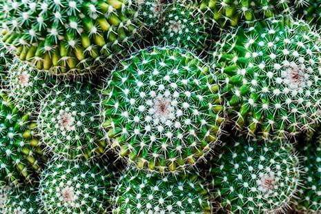 Varios cactus verdes y redondos
