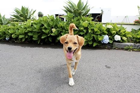 Perro con boca abierta y lengua fuera andando
