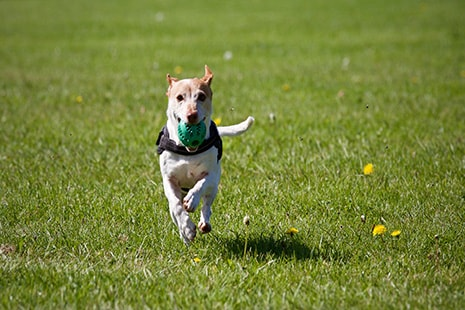 Perro corriendo con pelota verde en la boca