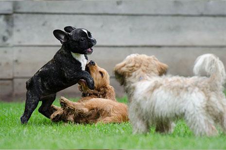 Tres cachorros de perro jugando entre ellos
