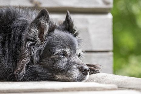 Pequeño perro de color negro tumbado
