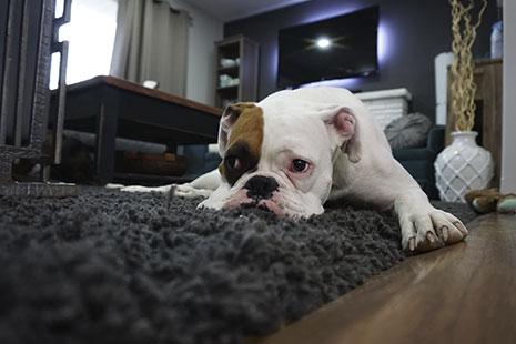 Perro blanco y con mancha marron sobre el ojo tumbado sobre alfombra negra