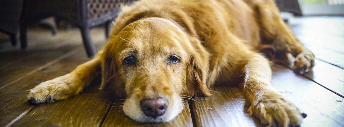 perro apático tumbado en el suelo