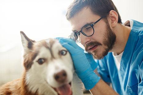 Veterinario inspecciona el oído de un perro