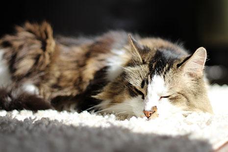 Un gato blanco y marrón duerme sobre una alfombra al sol