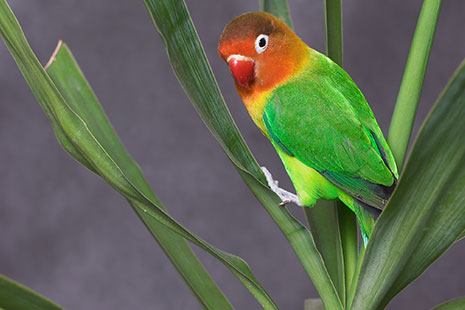 Cuida y adiestra a tu pájaro Agaporni