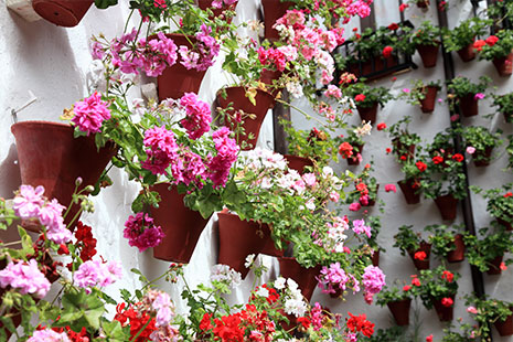 Macetas de geranio - Flores de verano para jardín
