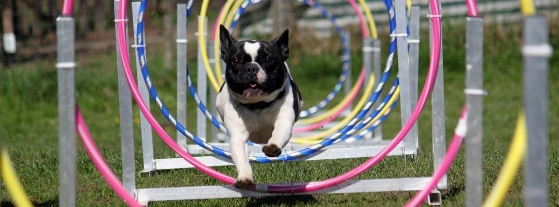 Border Collie corre en una prueba de Agility