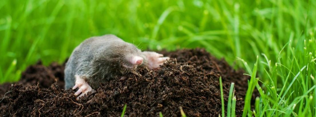 Ahuyentar los topos del jardín