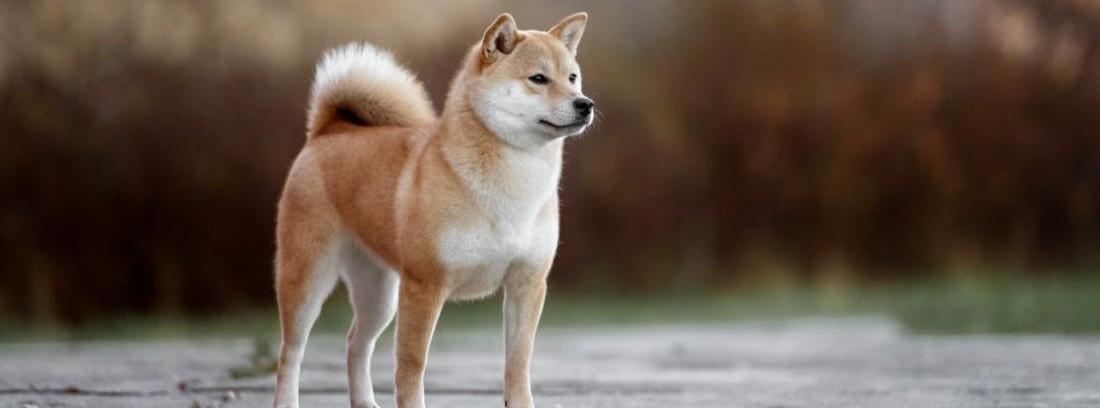 Un precioso Akita blanco