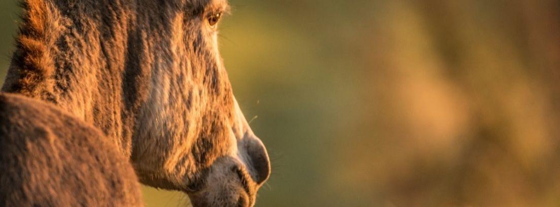 Perfil de un burro marrón