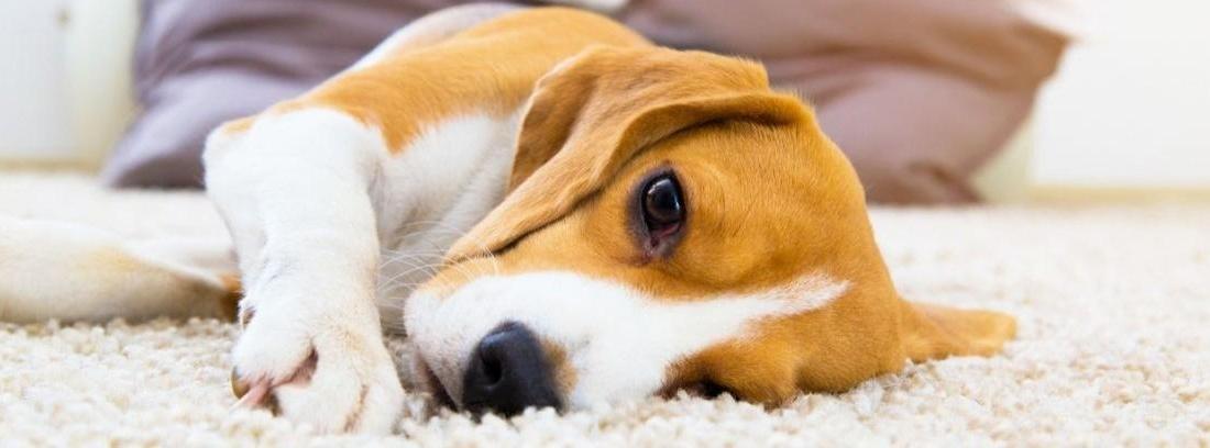 Perro tumbado en una cama cubierto por una manta