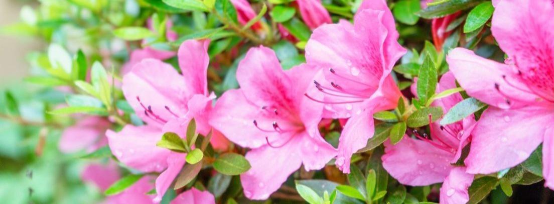 Planta azalea