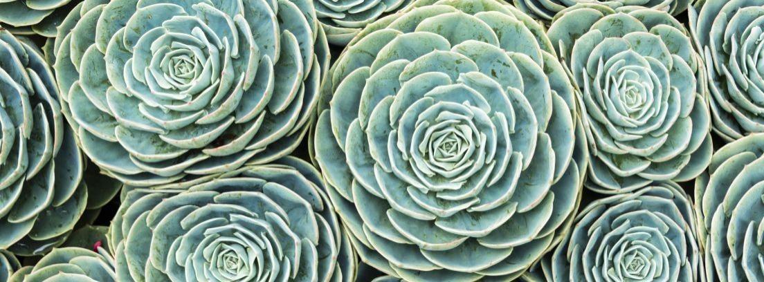Cactus sin espinas