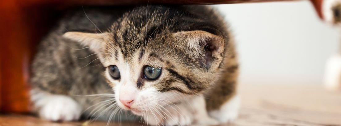 Cómo actuar ante un gato asustado