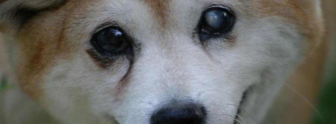 Cuidados de un perro con ceguera