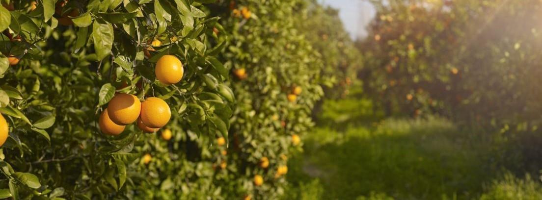 Cuidar los árboles frutales en verano