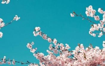 Flores blancas del árbol cerezo