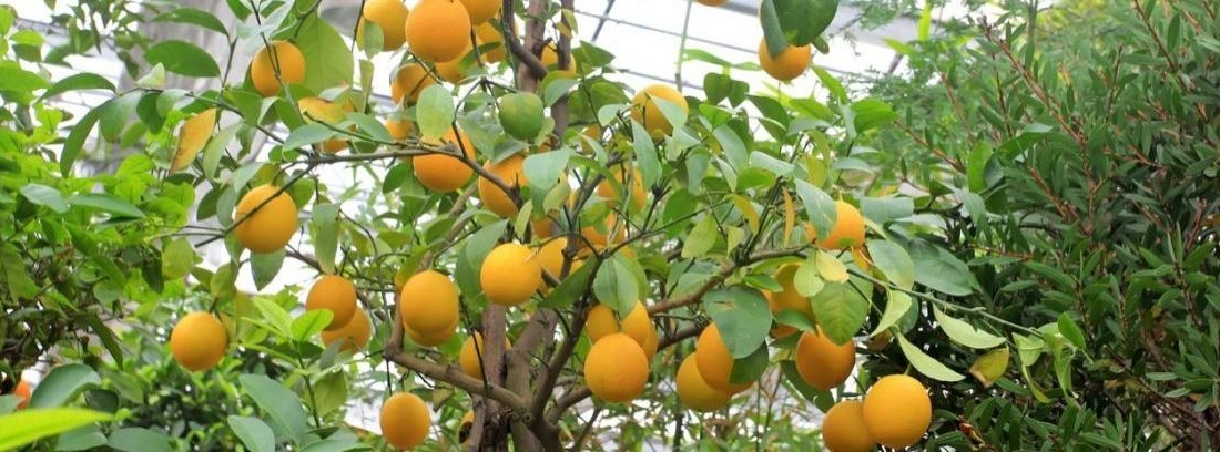 Naranjos chinos con frutos