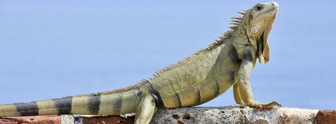 iguana mascota