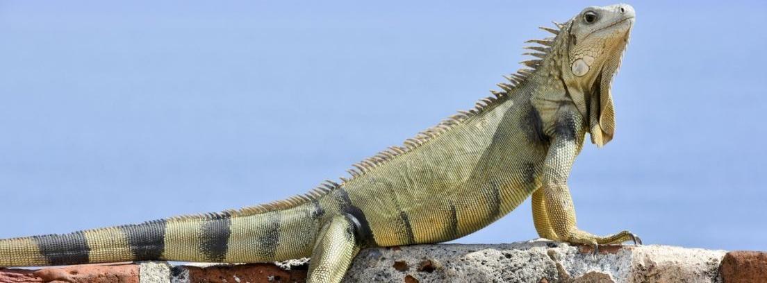 Cómo cuidar de una iguana