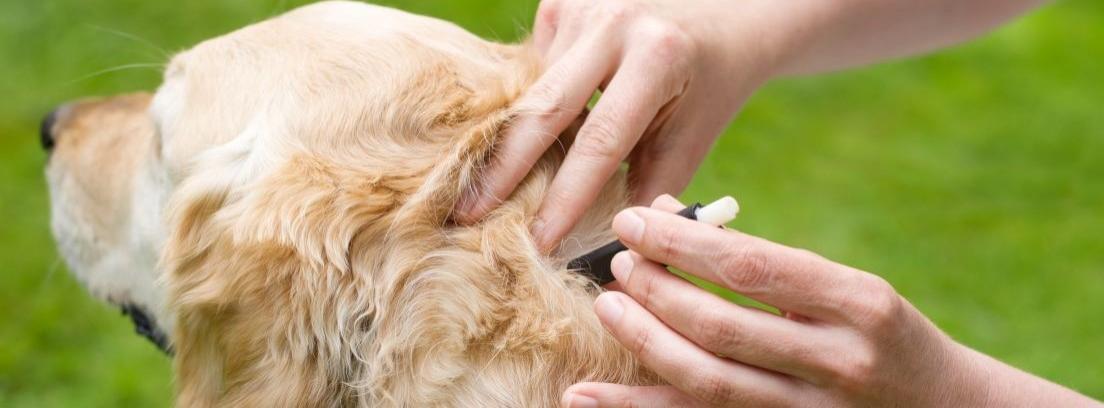 Qué hacer si nuestro perro tiene pulgas o garrapatas