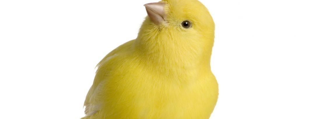 Métodos para estimular el canto de los canarios