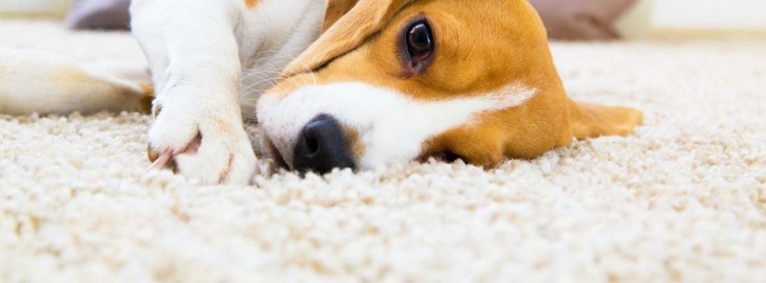 Limpiar alfombras con orina de perro